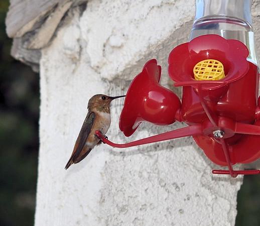 Hummingbirds 004