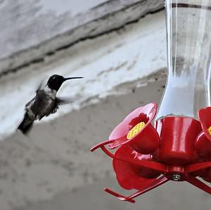 Hummingbirds 032