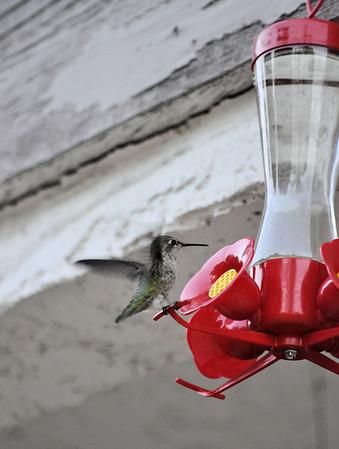 Hummingbirds 027