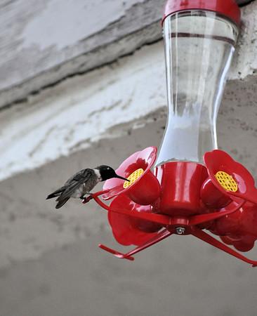 Hummingbirds 034