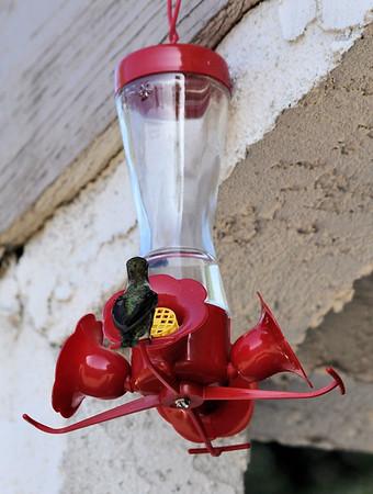 Hummingbirds 001