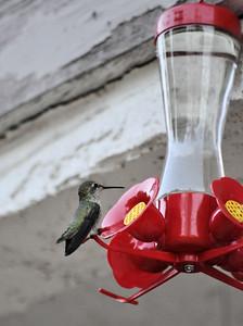 Hummingbirds 024