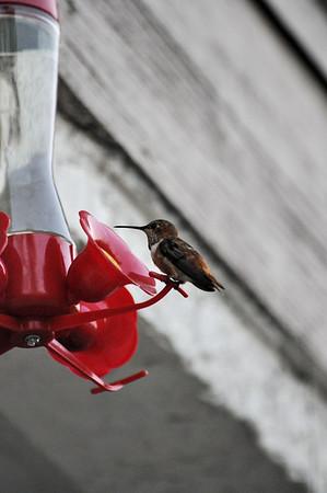 Hummingbirds 022