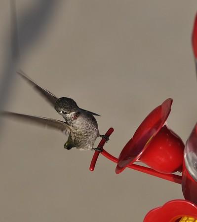 Hummingbirds Sept 15 11