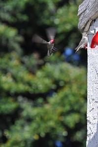 hummingbirds 9211 016