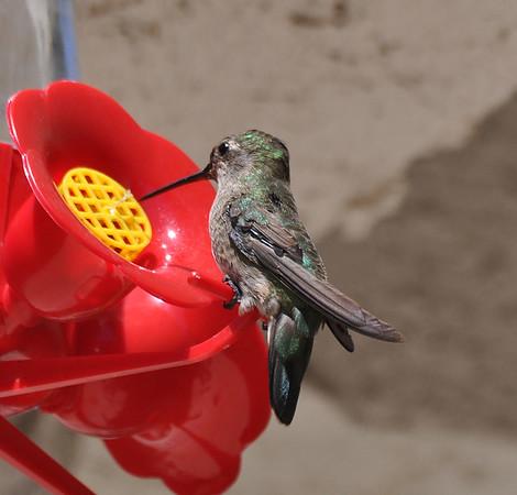 hummingbirds 9211 005