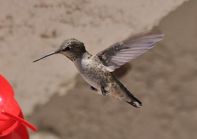 September 2011 Hummingbirds