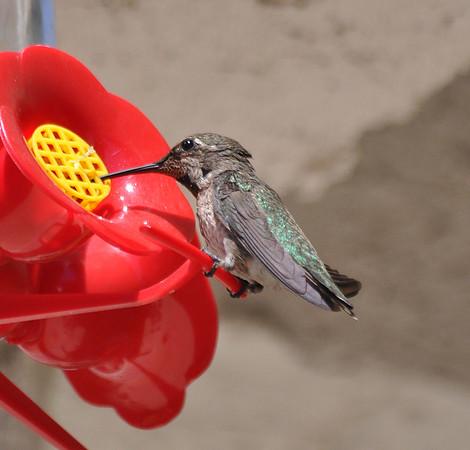 hummingbirds 9211 007