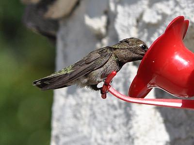 hummingbirds 9211 018