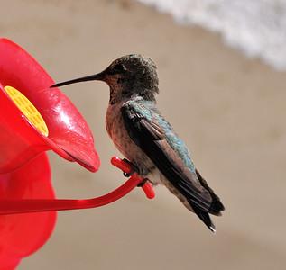 hummingbirds 9211 010