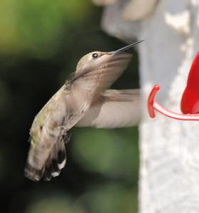 hummingbirds 9211 012