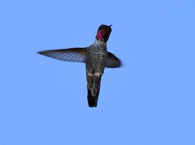 hummingbirds 9211 019