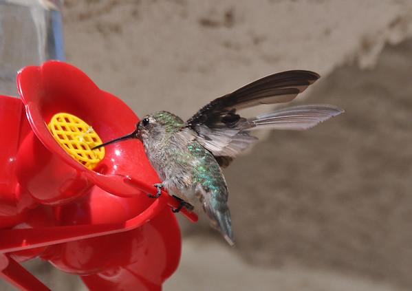 hummingbirds 9211 004