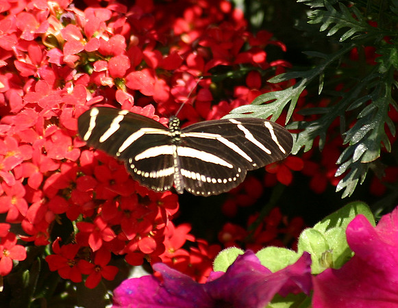 IMG_0066 BUTTERFLY