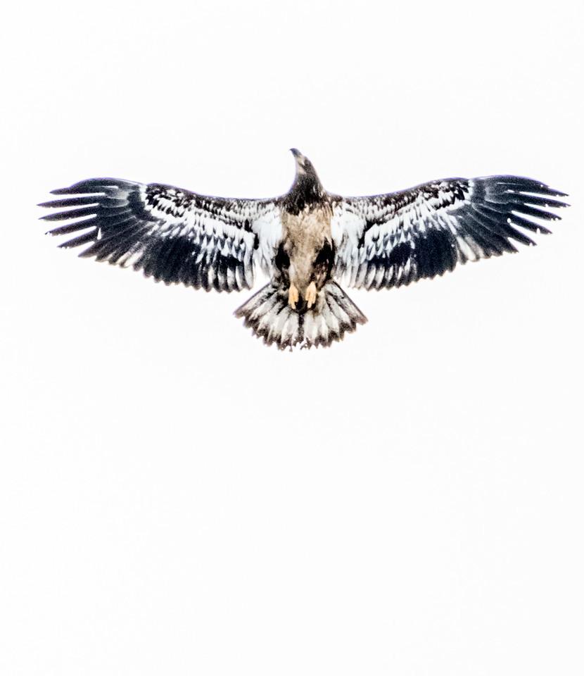Tribale Hawk