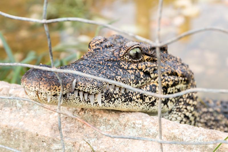Crocodile, Península de Zapata, Cuba
