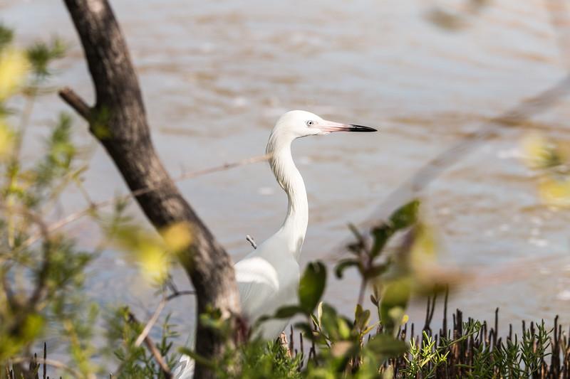 Egret, Ciénaga de Zapata, Cuba