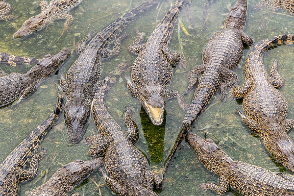 Adult Crocodiles