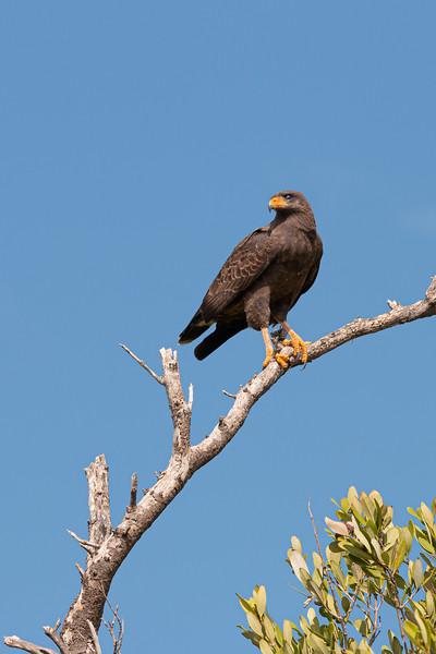 Falcon, Ciénaga de Zapata, Cuba