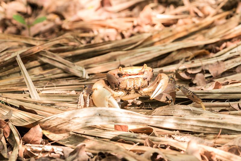 Zapata Crab, Península de Zapata, Cuba