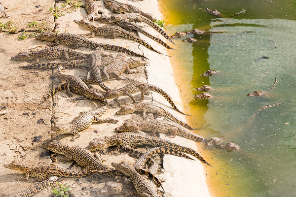 Young crocodiles