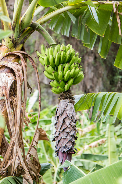 Bananas, Valle de Viñales, Cuba