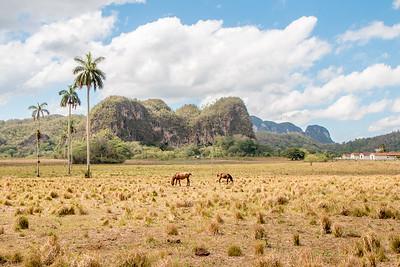 Horses in Viñales