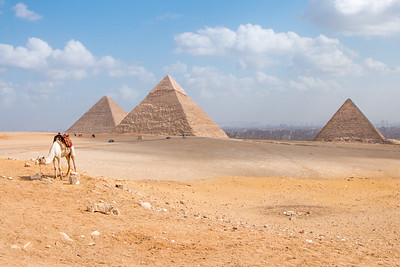 A camel and the Pyramids