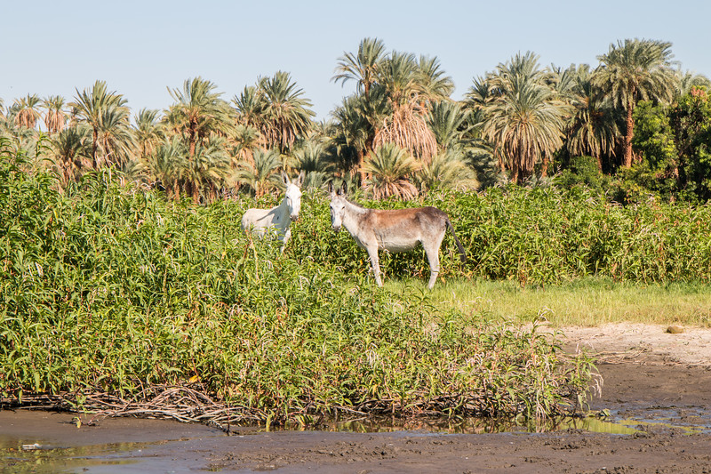 Nile donkeys, Egypt