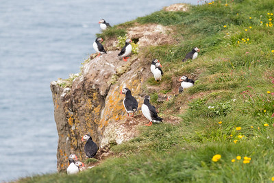 Grimsey Puffin Family