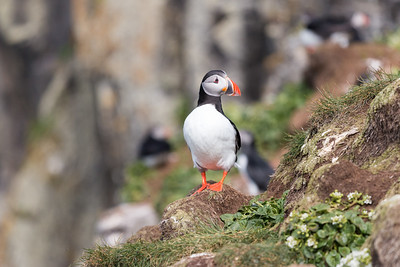 Grimsey Puffin