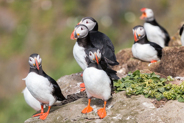 Grimsey Puffins Looking