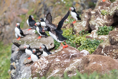 Grimsey Puffin Flying