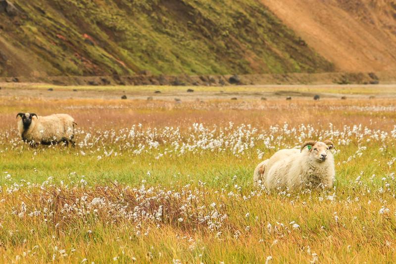 Sheep, Landmannalaugar, Iceland