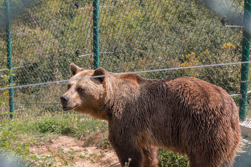 Bear at Pristina Bear Sanctuary, Kosovo