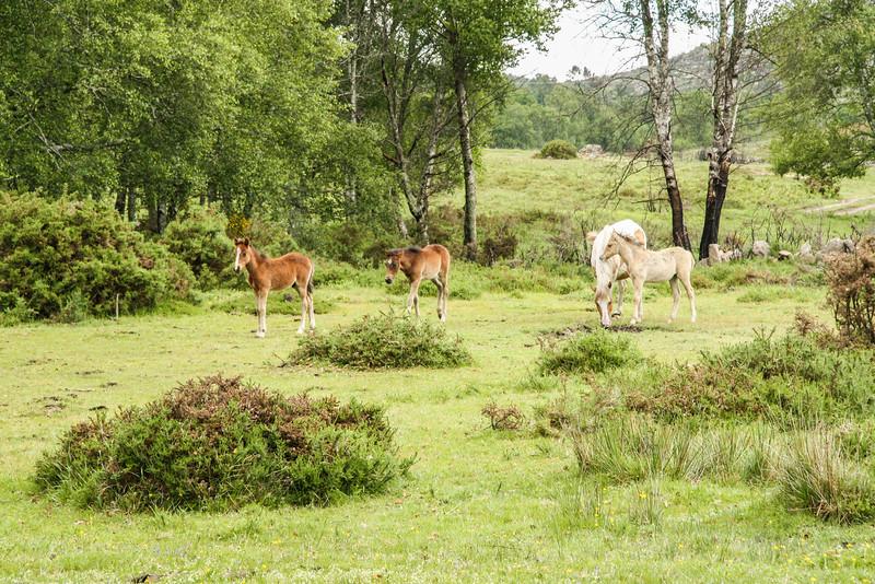 Garranos, Peneda-Gerês National Park, Portugal