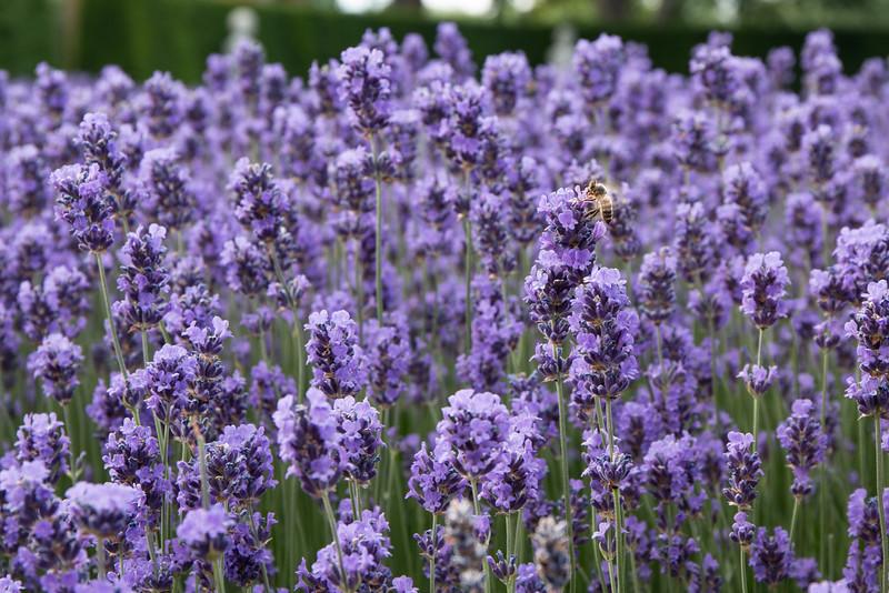 Bee, Kew Gardens, London