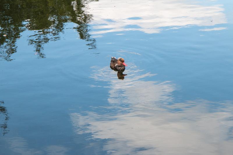 Duck, Kew Gardens, London
