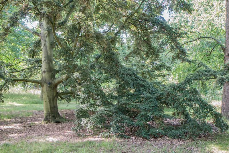 Falling tree, Kew Gardens, London