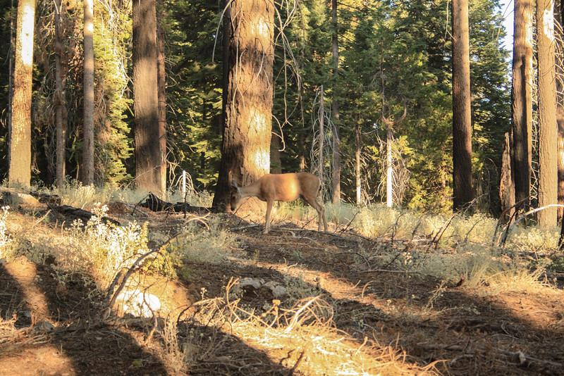 Mariposa Grove Deer