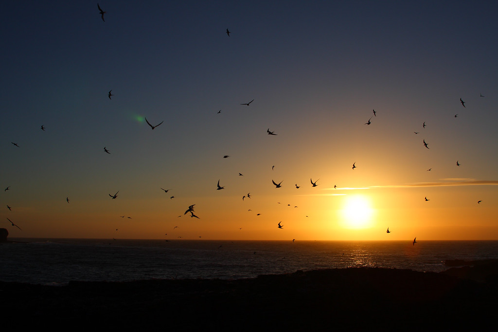 Arctic Tern Sunset