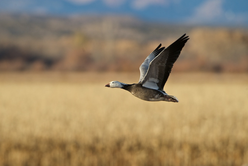 """UNDERSTATED - 19 December 2013<br /> <br /> Snow Goose on Takeoff - Bosque Del Apache, NWR, New Mexico<br /> __________<br /> <br /> Sometimes it's easy to forgot how lucky I am doing some of the things I do. It's particularly easy to discount what I do nowadays when you look at what I HAVE done. In terms of numbers of """"epic"""" events, I might look longingly to years past when I flew more advanced aircraft. Fortunately, the universe is kind enough to remind me that not all is what """"was,"""" and that what I'm doing now might be someone else's epic adventure.<br /> <br /> We have many great relationships with other aviation agencies at the USAF Test Pilot School. One is with the USAF Academy. This institution is easily the source of a third of our officers and many of our pilots. It's a very difficult educational institution in which, not only are you graded for your academic excellence, but also for your military abilities. The course load they have at the academy isimpressive for anyone.<br /> <br /> They have a coursefor seniors that's all about flight testing. Aero 456 teaches students the basics of designing test plans, collecting data, and analyzing the data for a report. One of their final projects is a team exercise reporting on the performance capabilities of the T-38. Sure, it's a great academic exercise. But, the best parts and most important objectives aren't measurable on a simple scale. It's the pure experience of flying in a supersonic jet trainer. <br /> <br /> That little tidbit is easy to forget when you are flying hundreds of such missions a year. When the most recent class of Aero 456 students descended on Test Pilot School just a few weeks ago, I was reminded that not all I do is run-of-the-mill. Actually some of it is quite epic.<br /> <br /> Every six months a group of Aero 456 students come to Test Pilot School at Edwards AFB to finish their final project, which is writing that report. They learn emergency procedures for getting into and out of the """