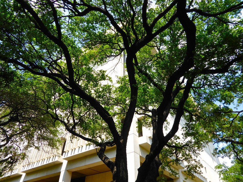 Live Oaks and the Ransom Center, University of Texas - Austin, Texas
