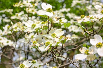 Dogwoods Of The Smokies