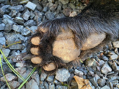 Rear Bear Paw