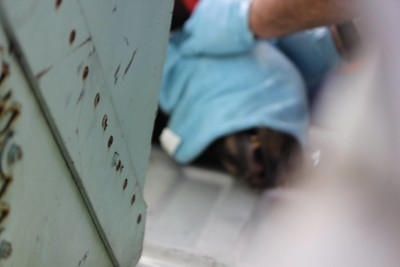The face of the animal is covered to keep the eyes from drying out as the biologist preps him or her for relocation.