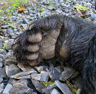 Front Bear Paw