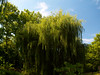 Weeping Willow.<br /> <br /> I took this one day at the Morton Arboretum.
