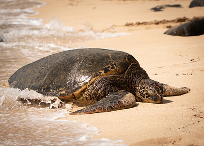 Punahele Sleeps Through the Waves