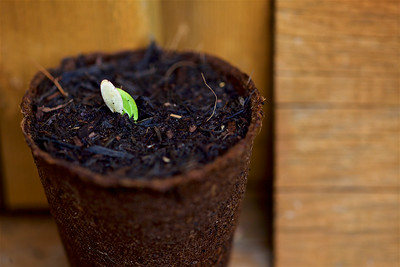 Cucumber germination